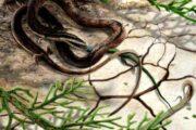 Famous 'Four Legged Snake' Really a Dino-Era Lizard